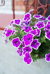 White and purple petunia flowers in hanging pot.