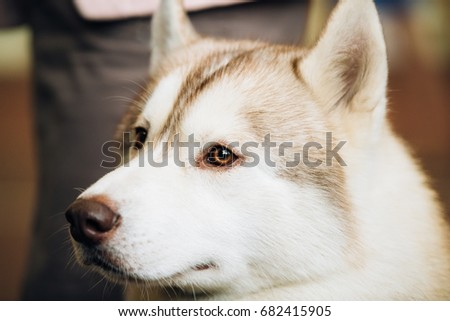 White And Red Adult Siberian Husky Dog Or Sibirsky Husky Close Up