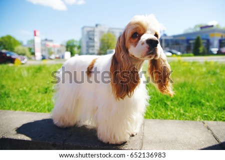 White and red American Cocker Spaniel dog posing outdoors in the city #652136983