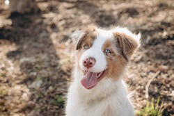 white and red dog breed Australian Shepherd aussie in nature