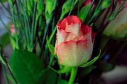 White and red natural rose, blur nature background,  flowers photography