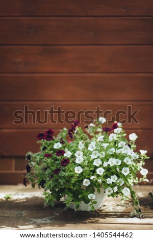 White and red petunia blooms in a pot, on a wooden background. Home flowers in the garden. Blooming and blooming. #1405544462