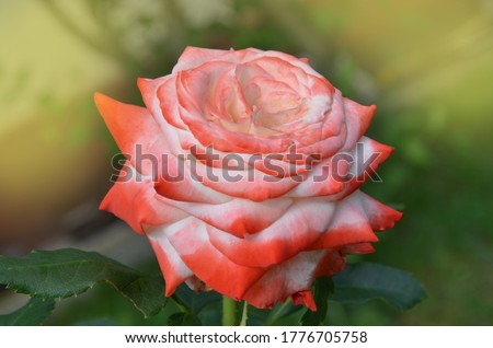 White and red roses blooms in the garden. White and red rose in a garden. Rose Nostalgie in the garden. Photo stock ©
