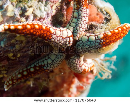 White and red starfish on coral reef underwater