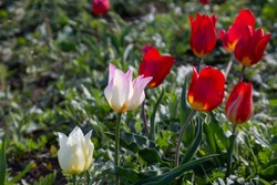 White and red wild tulips growing in green grass in Kalmykia