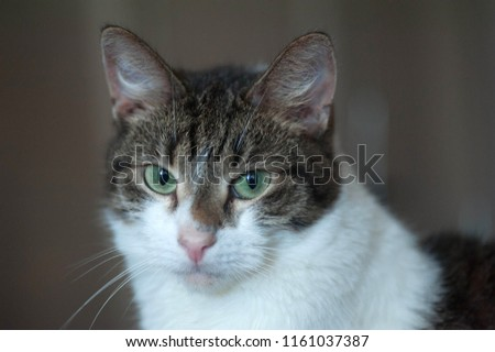 White and striped cat sitting on gray background