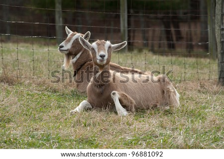White and tan goats sitting by the fence in a meadow. One goat is looking at the camera