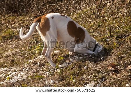 White and tan mongrel farmdog investigating a rabbit hole, Hampshire, England.