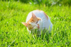 White and yellow adult domestic cat eating grass on the garden