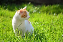 White and yellow adult domestic cat sitting in grass and looking to the right side