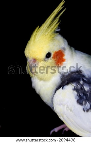 White and yellow cockatiel