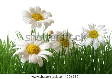 White and yellow daisies in grass field with white background