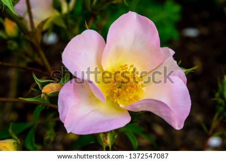 White and yellow flower with soft pettles