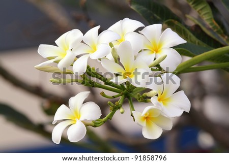 white and yellow frangipani flowers - stock photo