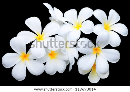white and yellow frangipani flowers on black background