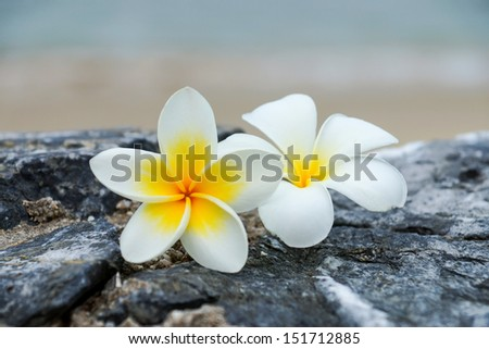 white and yellow frangipani flowers on the stone.