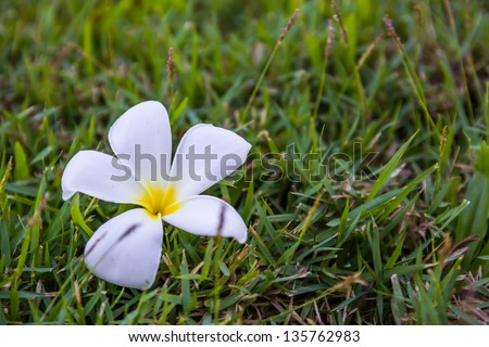 White and yellow Frangipani flowers or Plumeria on the grass