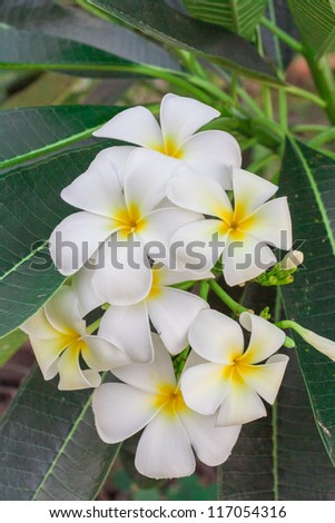 white and yellow frangipani flowers with leaves in background.