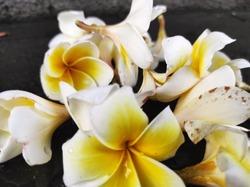 white and yellow in beautiful frangipanis