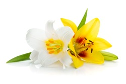 White and yellow lily. Isolated on white background