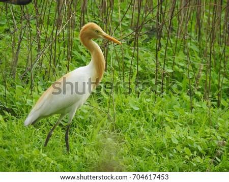 White and yellow/orange shaded Heron, Long neck, sharp beak, long legs, white feathers, small eyes, thin flexible bird. Heron standing in green grass.  #704617453