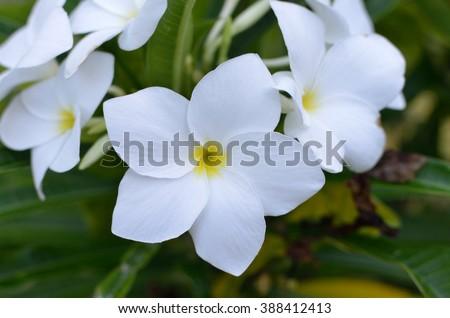 White and yellow plumeria flowers from hawaii ez canvas white and yellow plumeria flowers from hawaii mightylinksfo