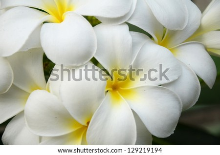 white and yellow Plumeria spp. (frangipani flowers, Frangipani, Pagoda tree or Temple tree)  on natural background.