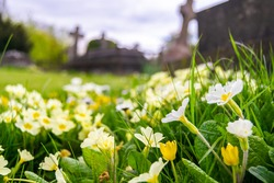 White and yellow Primula vulgaris known as the common primrose growing wildly on a cemetery, flowers of Primulaceae with crosses and graves in the background