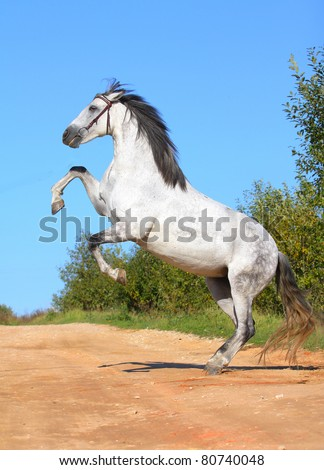 white andalusian horse rears