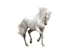 white andalusian horse stallion isolated on white background