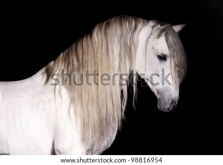 white andalusian on black background