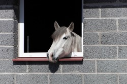 White andalusian spanish horse looking out from windown in the barn. Animal funny portrait.