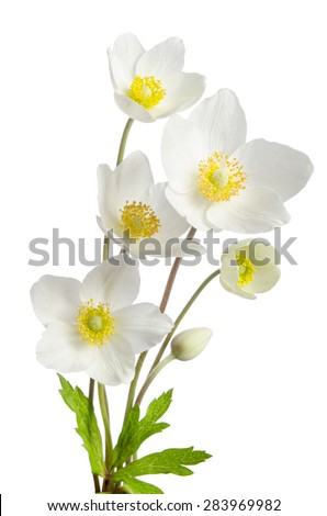 Stock Photo White anemone flowers  isolated on white background