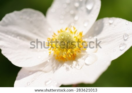White anemone with dew on petals closeup