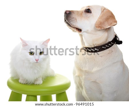 White Angora cat and dog of breed Labrador the Retriever. A close up, isolated on a white background. At a dog will put out language.