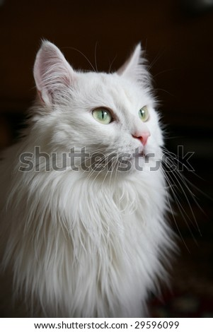White Angora cat in a profile on a dark background