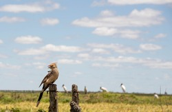 White Anu (scientific name: Guira guira) perched on a fence. Pampa biome fields in southern Brazil. Fauna and Flora. Birds native to South America.