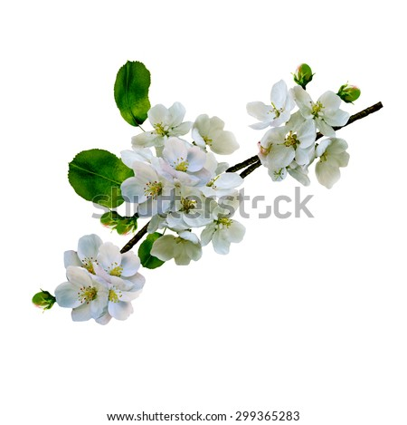 White apple flowers branch isolated on white background #299365283