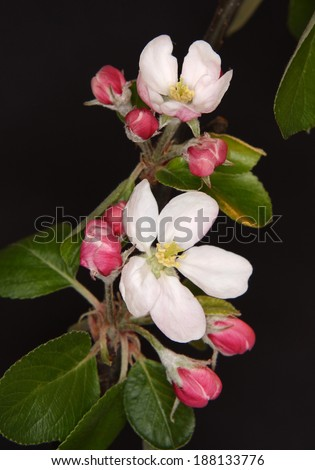 White apple flowers branch on black background