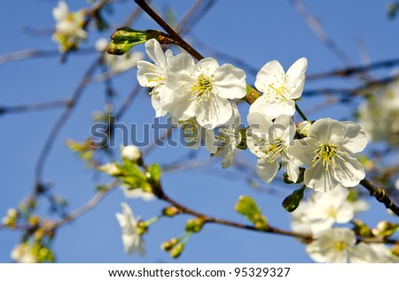 White apple tree buds and blooms in spring beauty closeup macro backdrop background.