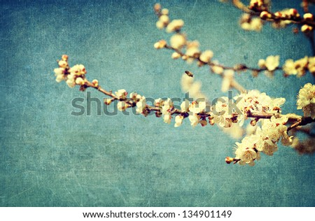 White apricot tree flowers in spring