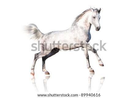 white arab horse isolated on white