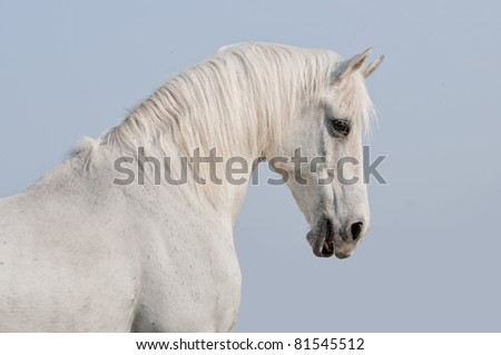 white arab horse with blue sky background behind