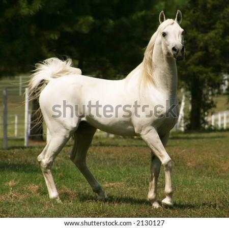 Trinket and her horse friends (my demestic horses) Stock-photo-white-arabian-horse-2130127