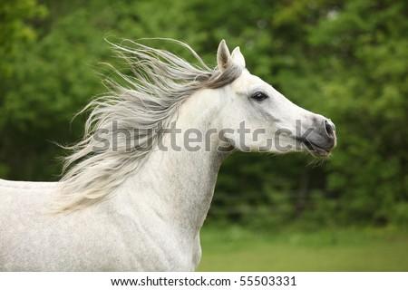 White arabian horse running - stock photo