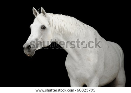 white arabian horse stallion isolated on black