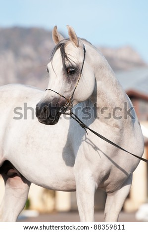 white arabian horse stallion portrait in summer - stock photo