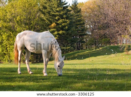 White Arabian mare grazes in pasture - copy space to right