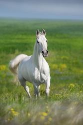 White arabian stallion free run in stipa flowers meadow