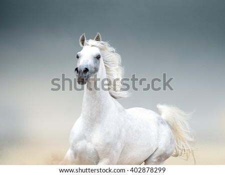 Stock Photo white arabian stallion portrait closeup